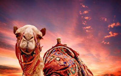 un cammello sotto il sole
