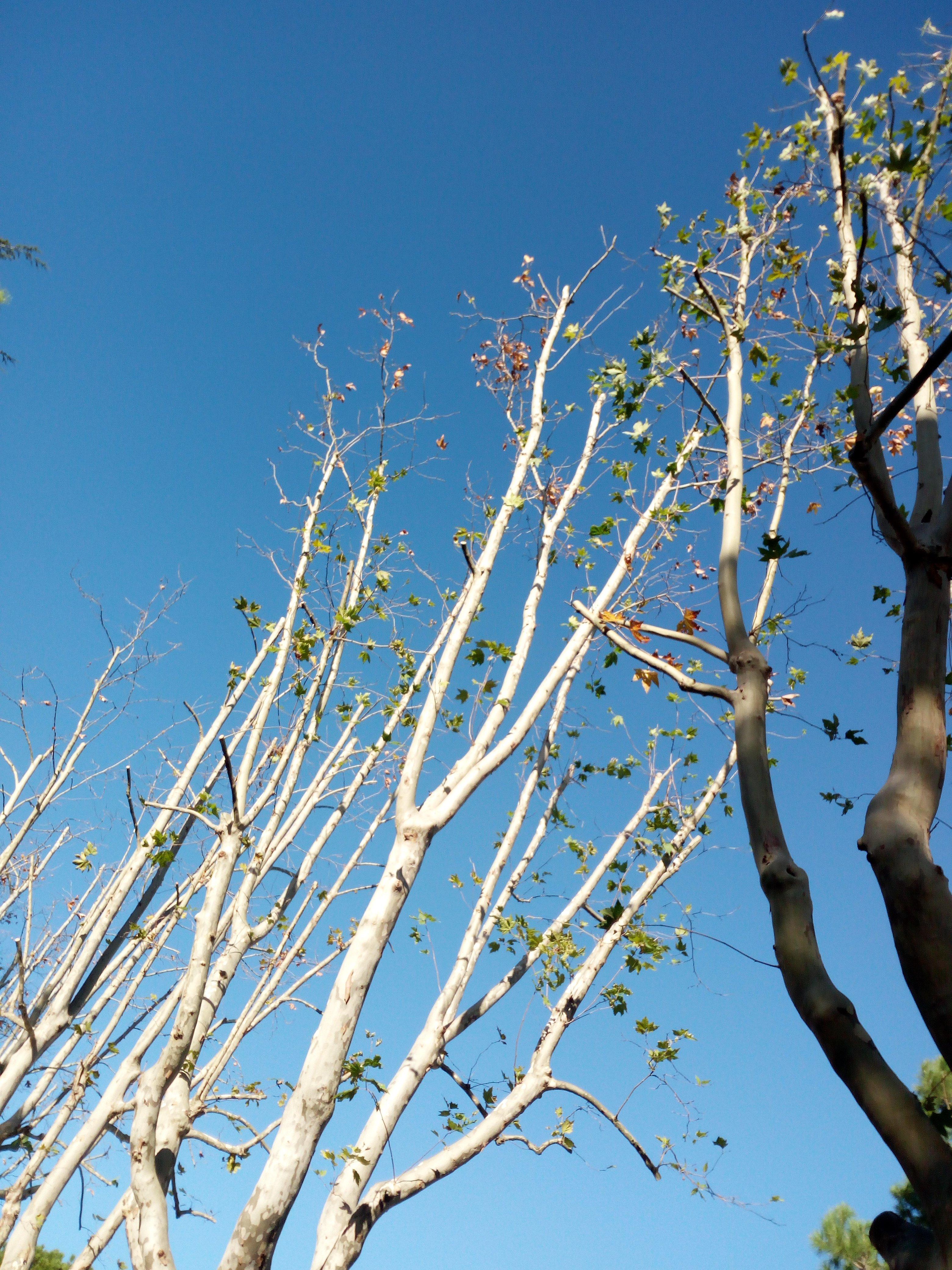 nel cielo limpido si stagliano rami potati con foglie invernali
