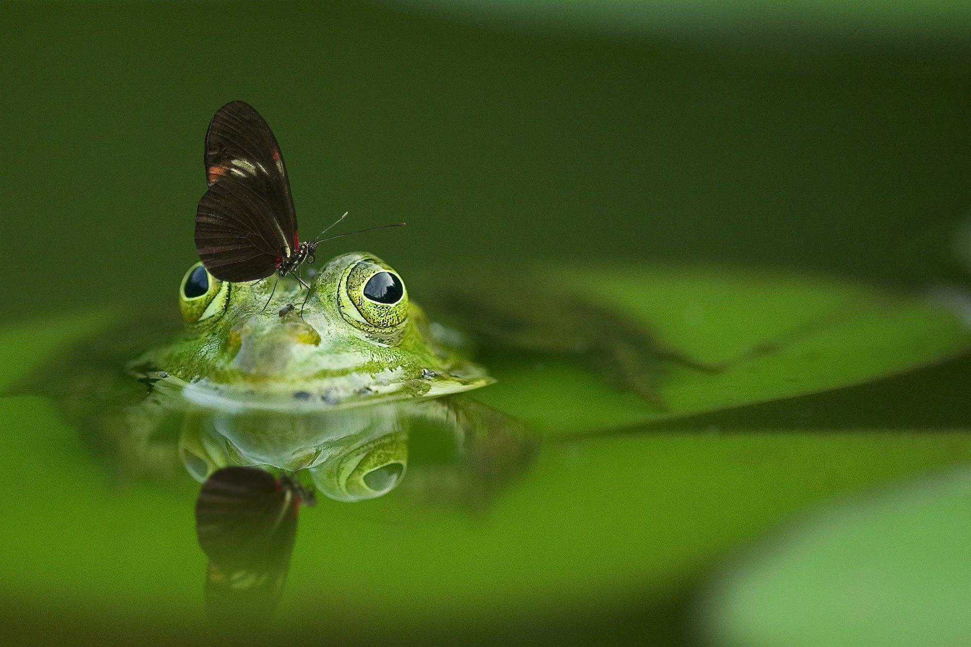 una farfalla posata sulla testa di una rana su uno stagno