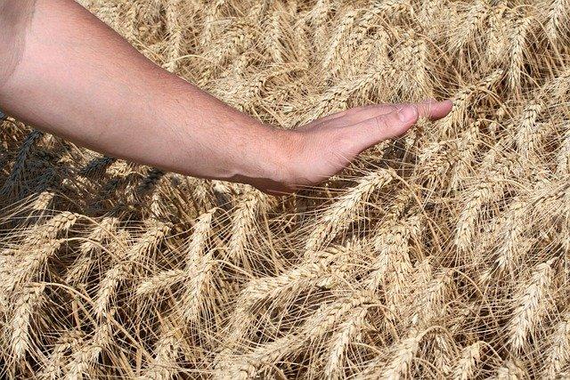 Una carezza a folte spighe di grano fa godere del raccolto dopo la semina
