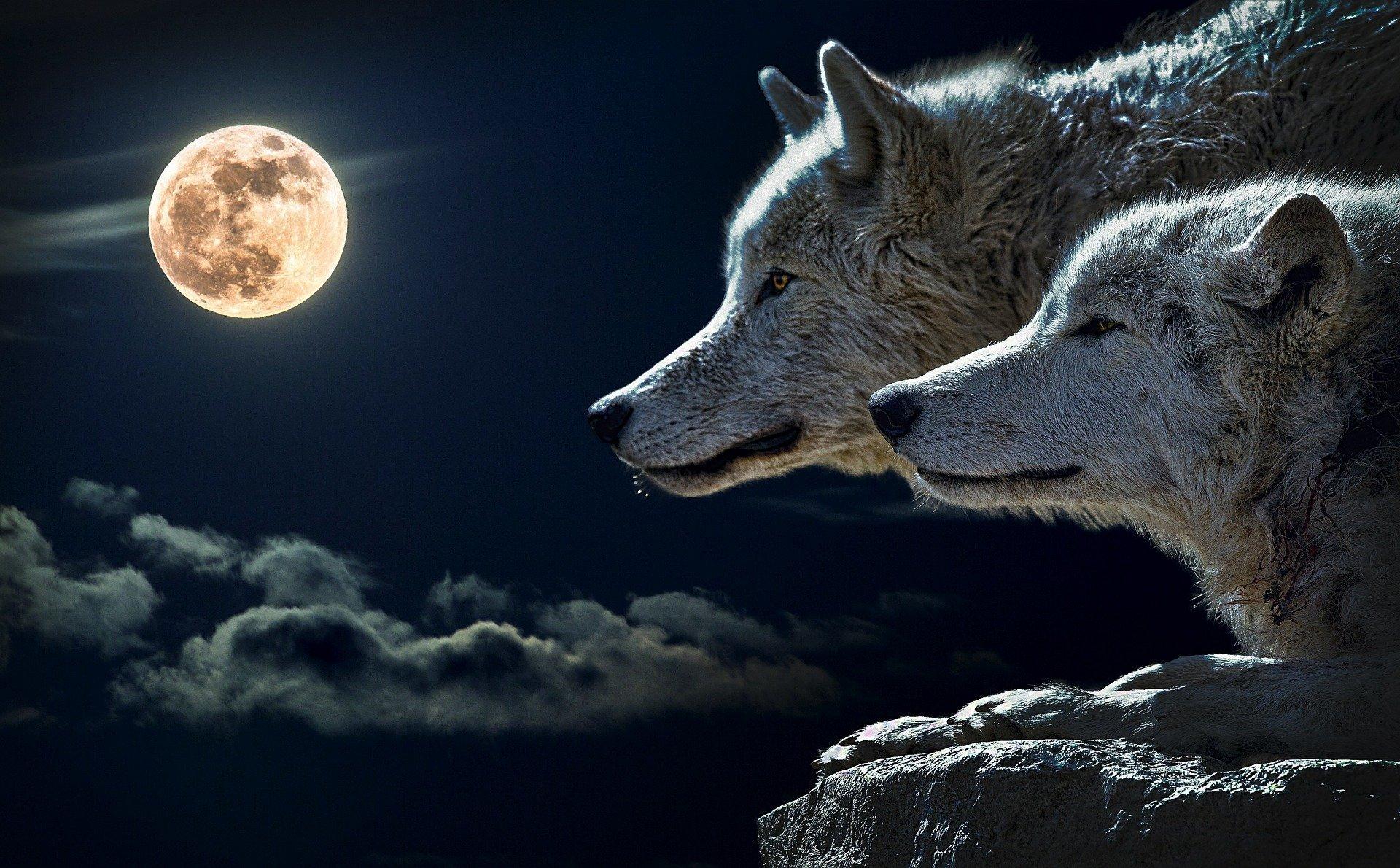 due lupi che guardano la luna piena