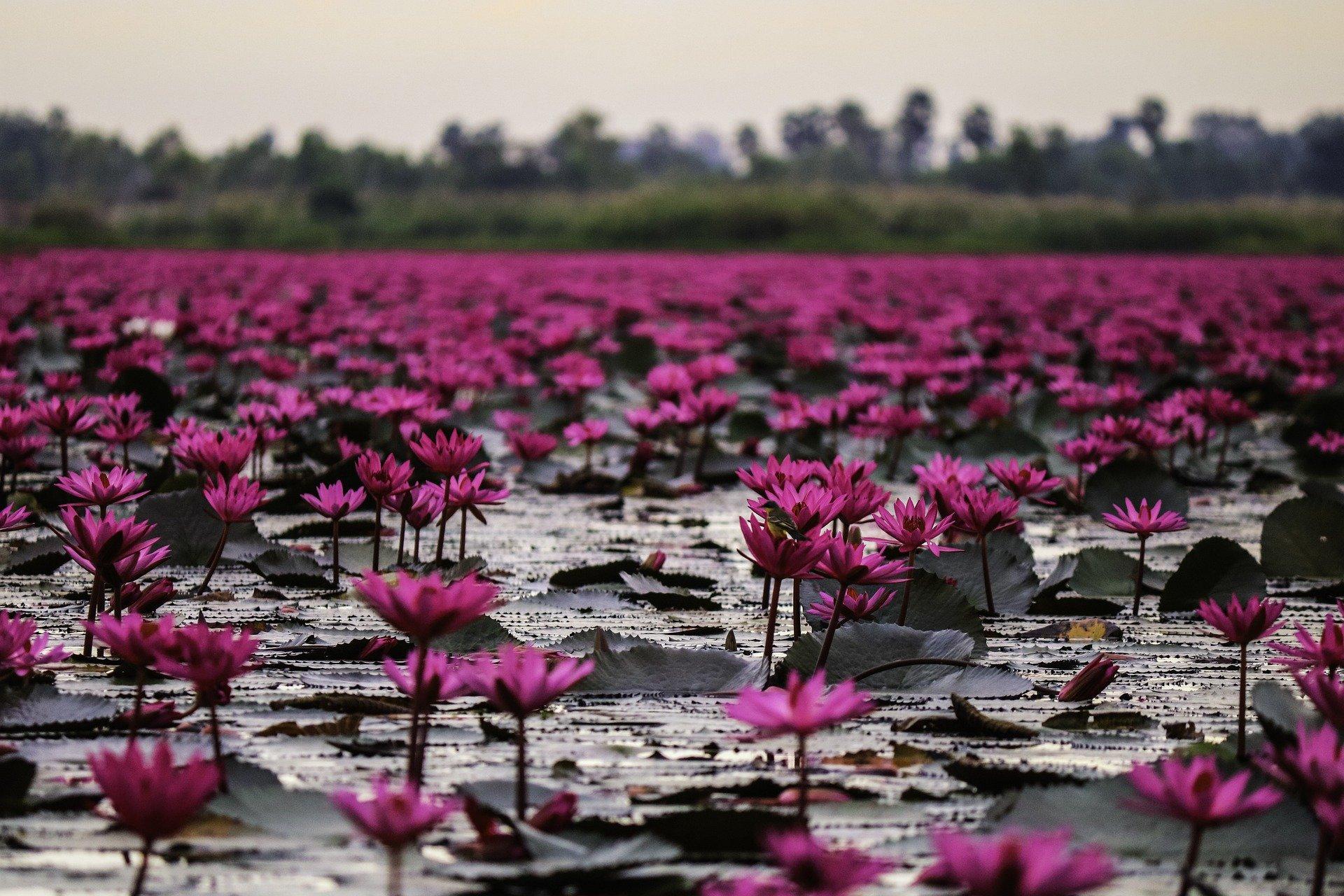 lago grigio pieno di ninfee viola