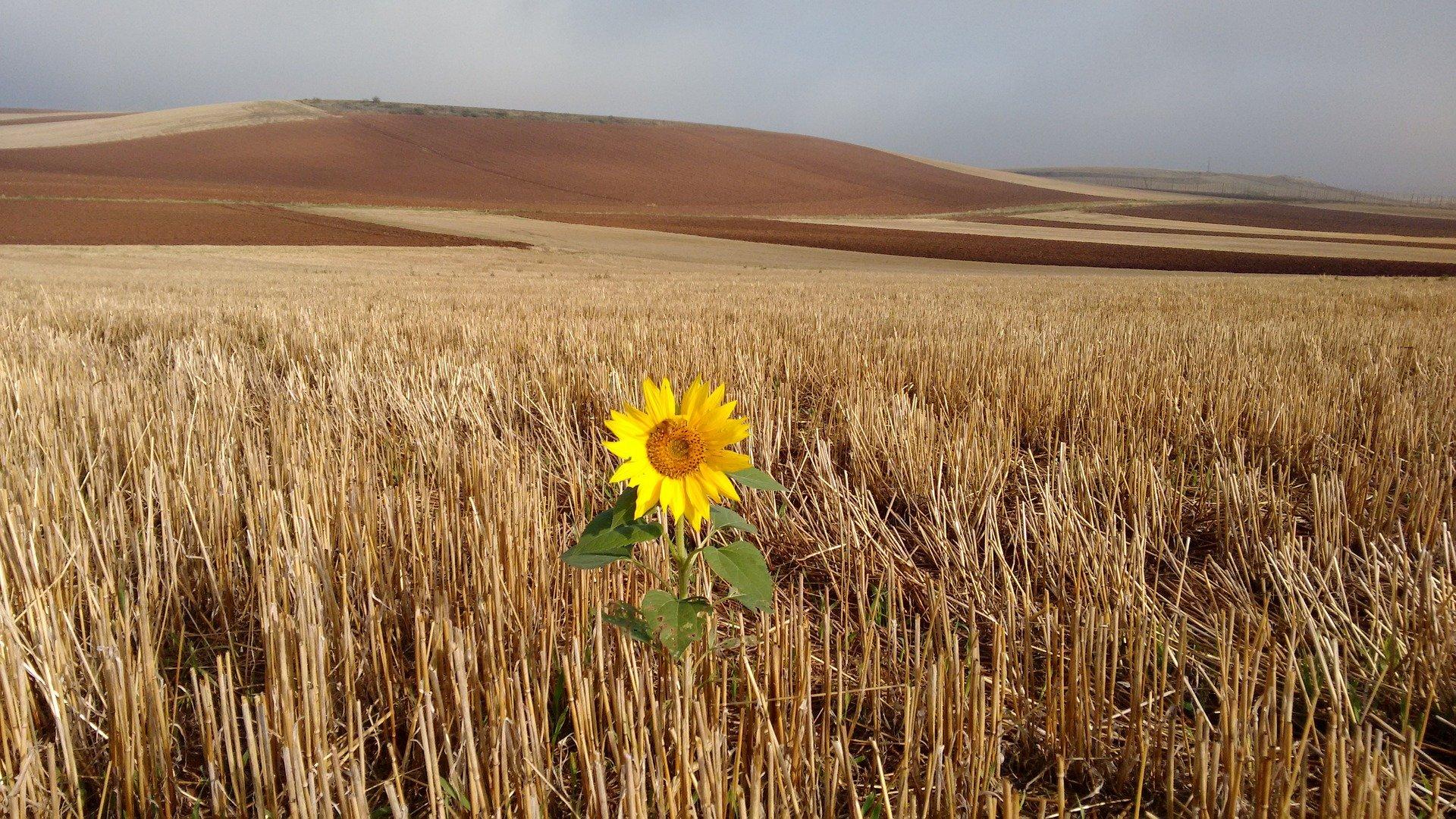 un girasole in un immenso campo di grano