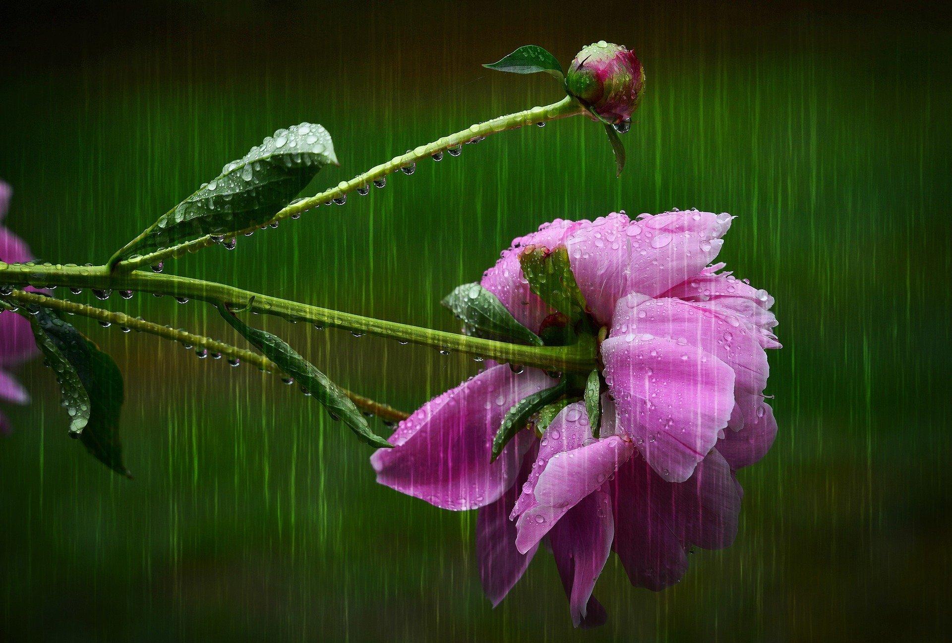 fiore chino sotto la pioggia forte
