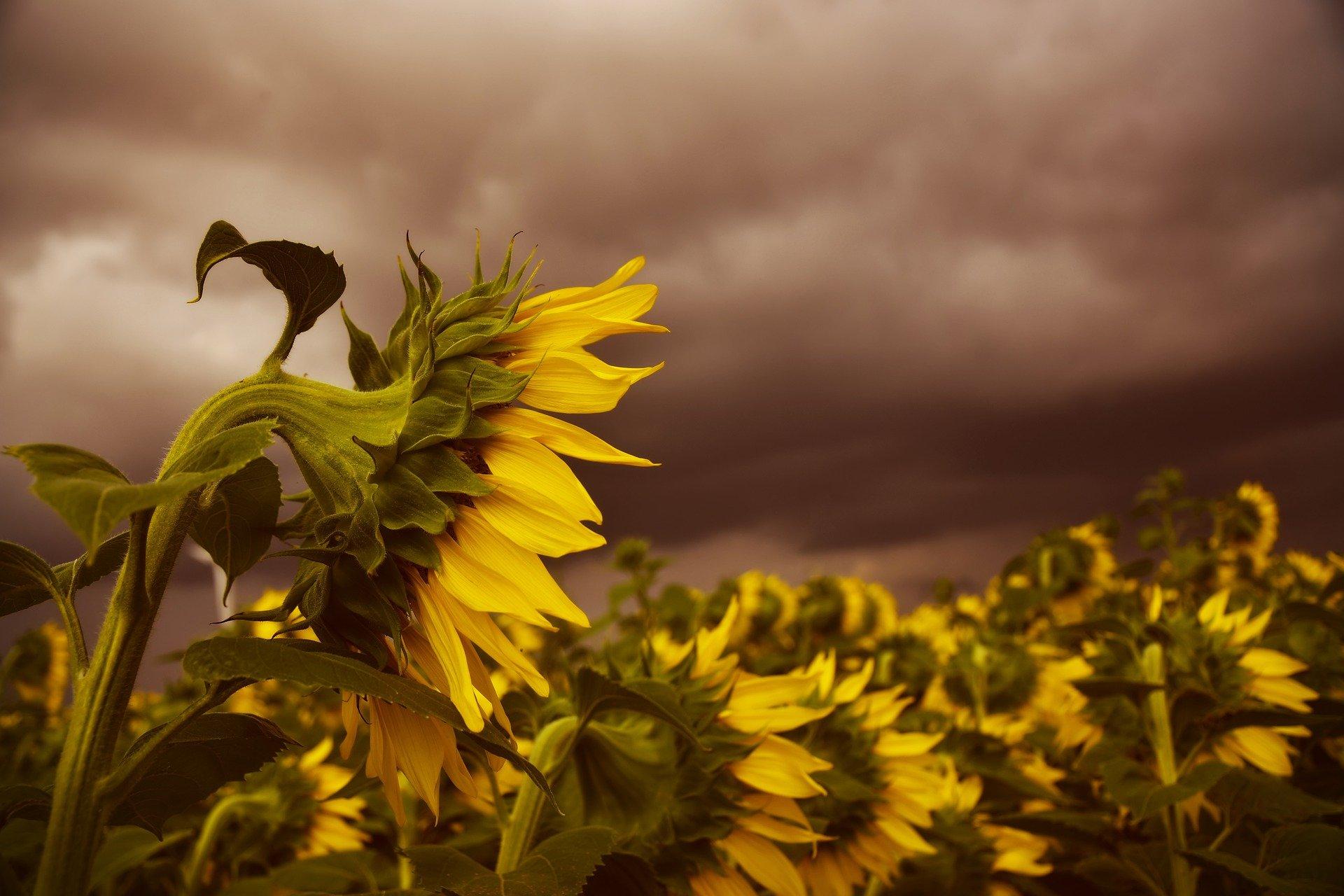 girasoli piegati in basso durante un temporale